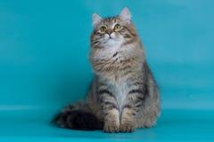 猫西伯利亚人 库存照片