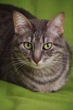 猫观看您 免版税库存照片
