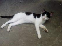 猫说谎黑白 库存图片
