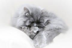 猫海报 图库摄影