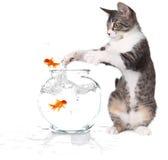 猫跳到尝试的抓住金鱼 库存图片