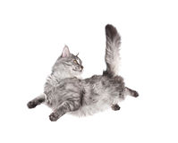 猫跳 免版税图库摄影