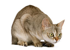 猫蹲下的singapura 免版税库存图片
