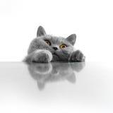 猫逗人喜爱偷看 图库摄影