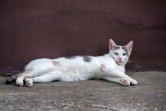 猫逗人喜爱国内 免版税库存照片