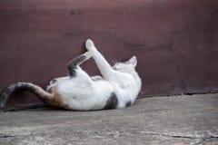 猫逗人喜爱国内 免版税库存图片