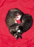 猫逗人喜爱的夫妇心脏爱动物 库存图片