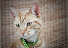 猫逗人喜爱的姜 库存图片