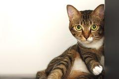 猫逗人喜爱的平纹 免版税库存图片
