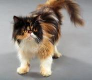 猫逗人喜爱的波斯语 免版税图库摄影