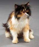 猫逗人喜爱的波斯语 免版税库存照片