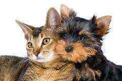 猫逗人喜爱的狗 免版税库存照片
