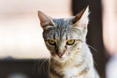 猫逗人喜爱的纵向 免版税图库摄影