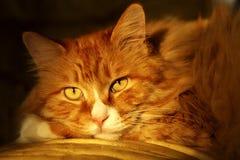 猫逗人喜爱的黄昏 图库摄影