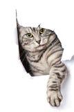 变成银色猫 库存照片