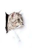 银色猫 免版税库存照片