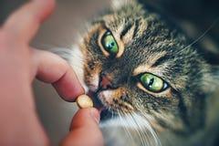 猫采取药片 免版税库存图片