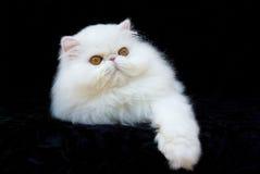 猫铜被注视的波斯白色 免版税库存照片