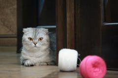 猫阿丽斯 免版税库存图片