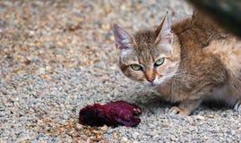 猫阿拉伯语,猫属silvestris gordoni 免版税库存照片