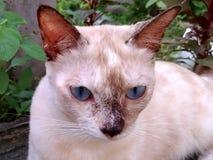 猫面孔凝视 库存图片