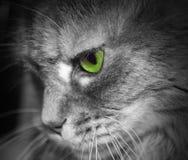 猫面孔外形 注视绿色 免版税图库摄影