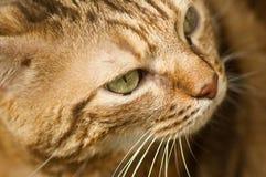 猫面孔特写镜头 库存图片