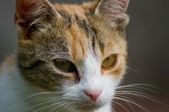 猫面孔细节  库存图片