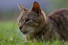 猫面孔细节  免版税库存图片