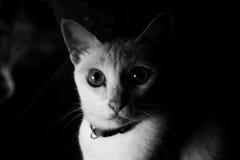 猫面孔黑白照片  免版税库存照片