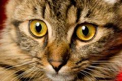 猫面对滑稽查找 库存照片