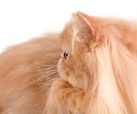 猫顶头波斯红色 免版税图库摄影