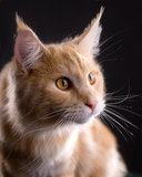 猫颊须 免版税库存照片