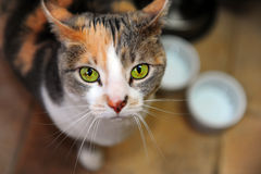 猫饥饿查找 免版税库存图片