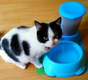 猫饲养时间 免版税库存照片