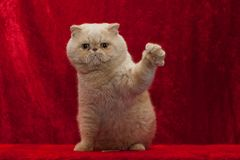 猫高五 库存图片