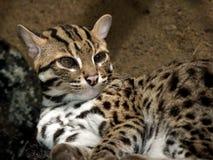 猫麝猫 免版税库存图片