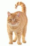 猫黄色 库存图片