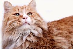 猫黄色 图库摄影