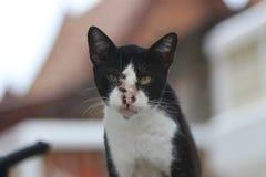 猫黑白颜色和聚焦背景 与软的毛皮的一只小被驯化的肉食哺乳动物 库存照片