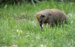 猫鼬吃牺牲者的Herpestidae 库存照片
