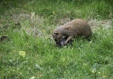 猫鼬吃牺牲者的Herpestidae 免版税库存图片