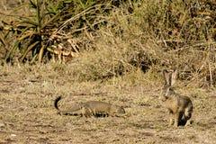 猫鼬和非洲野兔 库存照片