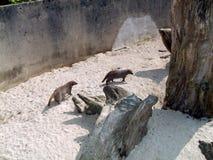 猫鼬在一个动物园或一个徒步旅行队公园里在英国 图库摄影