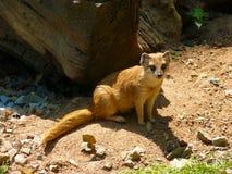 猫鼬狐狸Cynictis penicillata 免版税库存照片