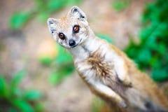 猫鼬立场 免版税库存图片