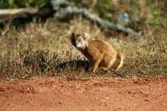 猫鼬纵向 免版税图库摄影