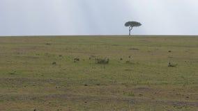 猫鼬群寻找在非洲大草原的平原的食物 股票视频