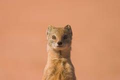 猫鼬黄色 免版税库存照片