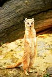 猫鼬 图库摄影